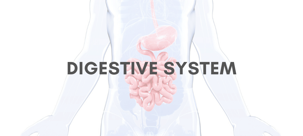 How Your Digestive System Works